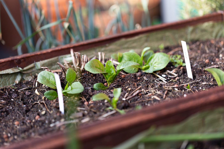 Spinat am Balkon pflanzen